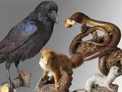 Special exhibition: Corvus Corax - the animals of the monastery Marienberg